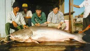 MRC_giant_catfish_web